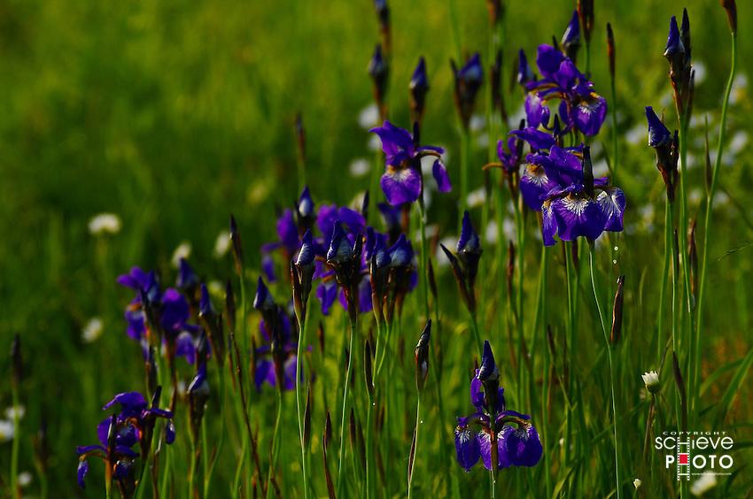 Wild Iris's in northern Wisconsin.