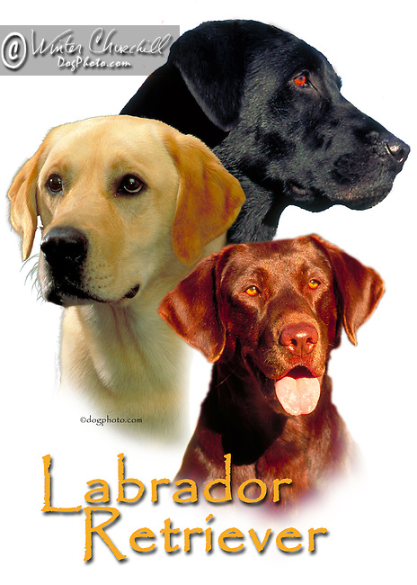 labrador retriever This design is offered on gift merchandise ONLY.<br />