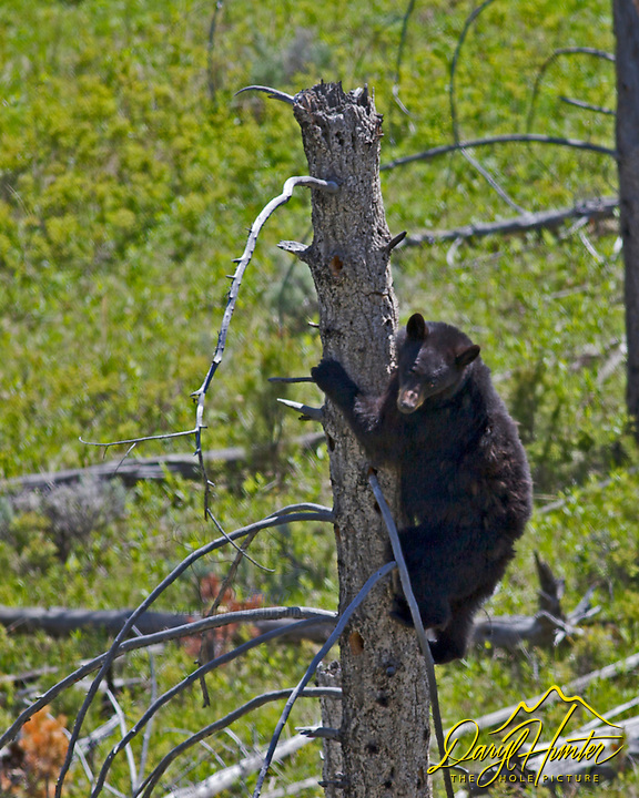 Black Bear climbing tree in Yellowstone National Park