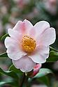 Camellia x williamsii 'JC Williams', mid March.