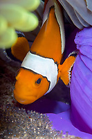 A Western or false clownfish Amphiprion ocellaris oxygenating it's eggs next to it's purple host anemone, East of Eden. The Similan islands, Andaman Sea, Indian Ocean, Thailand, Asia