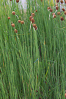 Zwerg-Rohrkolben, Kleiner Rohrkolben, Zwergrohrkolben, Typha minima, Dwarf Bulrush, Miniature Cattail, Least Bulrush, Lesser Bulrush