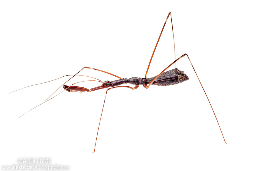 Assasin Bug {Reduviidae} with raptorial front legs. Photographed on a white background in mobile field studio in tropical rainforest. Danum Valley, Sabah, Borneo, Malaysia.