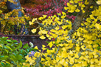 Ginkgo biloba tree branch with golden yellow leaves in autumn (fall) color in California garden, Filoli