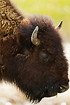 This young bison is grazing in Yellowstone National Park, June 3, 2011. Photo by Gus Curtis.