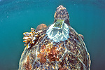 J. Nichols Releasing Loggerhead Sea Turtle