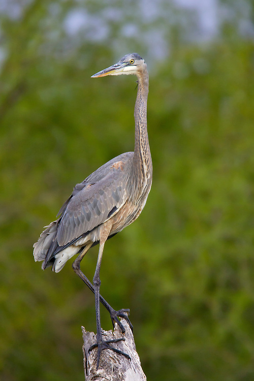 Great Blue Heron - Ardea herodias - Sub-adult