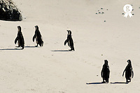South Africa, South Weatern Cape, Betty's Bay, five Black Footed Jackass Penguins (Speniscus demersus) walking on beach, rear view (Licence this image exclusively with Getty: http://www.gettyimages.com/detail/sb10068805af-001 )