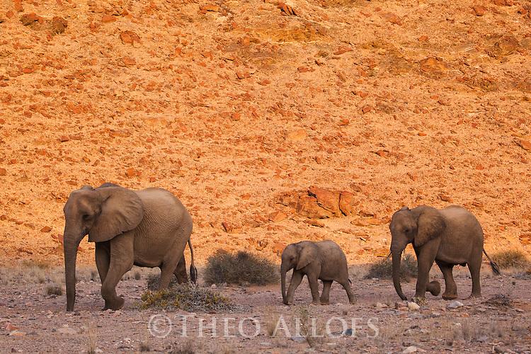 Namibia;  Namib Desert, Skeleton Coast,  desert elephant (Loxodonta africana), female with calves
