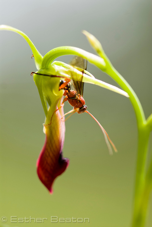 Orchid Dupe Wasp (Lissopimpla excelsa) (Fam. Ichneumonidae) mating with and pollinating Large Tongue Orchid (Cryptostylis subulata). Orchid ecology research, Macquarie University, Sydney, New South Wales, Australia.