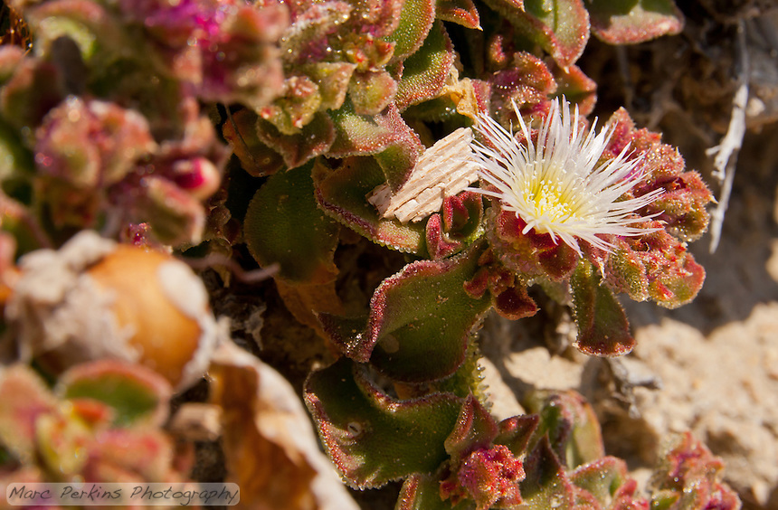 A striking white flower on a backdrop of green and red, near the beach at Crystal Cove State Park.