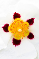 Cistus Purpureus Alan Fradd flowering plant  - white orchid rockrose - in garden in England, United Kingdom