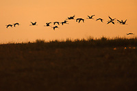 Flock of Demoiselle Cranes in flight, Bagerova Steppe, Kerch Peninsula, Crimea, Ukraine