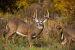 White-tailed buck pursuing a doe