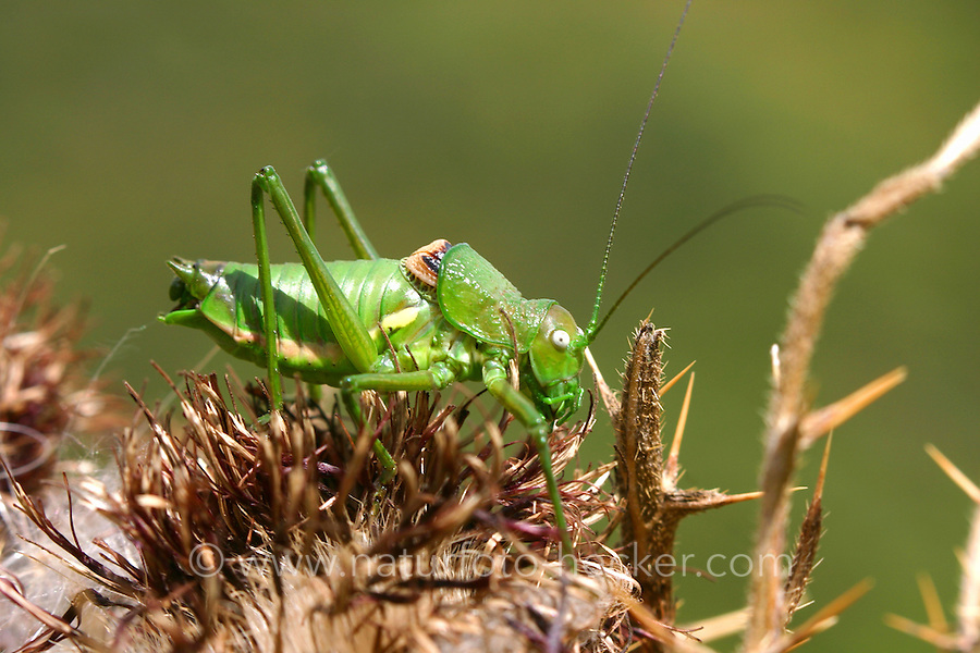 Kantige Sattelschrecke, Männchen, Uromenus rugosicollis, Ephippiger rugosicollis, Rough backed bush cricket, Rough backed bush-cricket, male, Tettigoniidae