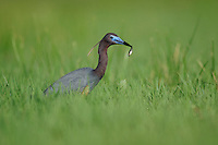 Little Blue Heron (Egretta caerulea), adult in marsh with fish prey, Fennessey Ranch, Refugio, Coastal Bend, Texas, USA