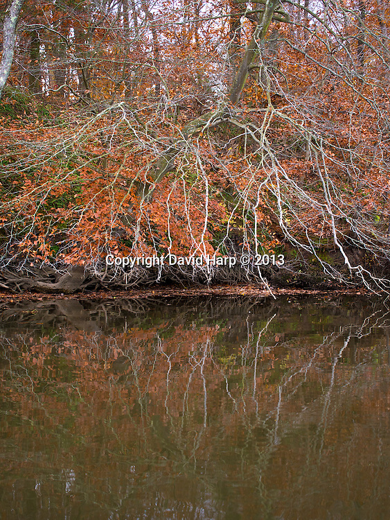 Gnarly branches of an American beech tree reside over the river bank in Autumn.