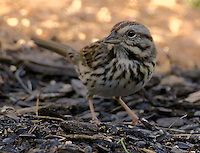 Adult eastern song sparrow
