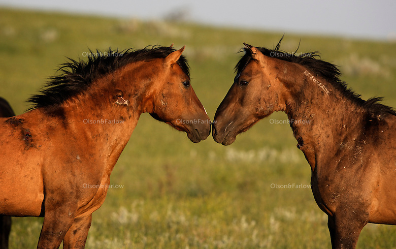 Two mustang stallions face off before a challenge errupts.  After weeks of battling for mares, the studs are wounded and scarred from their brutal fights.  The freeze brand on the neck indicates the horse was captured and processed by the Bureau of Land Management.