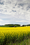 Mustard field, Washington County, Oregon