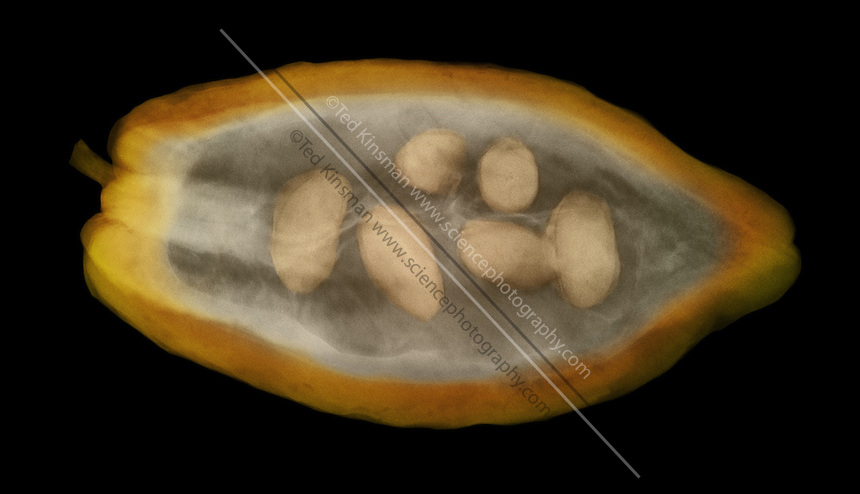 An x-ray of a cocoa pod.   The cocoa pod (Theobroma cacao)..This image shows the placement of the seeds inside the pod.  This particular pod does not have as  many seeds as it should to be part of a high yield harvest.  The seeds are used for the production of chocolate.