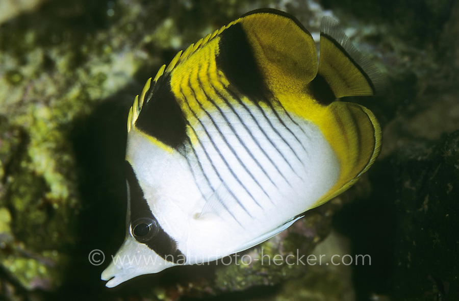Indischer Doppelsattel-Falterfisch, Keilfleck-Falterfisch, Keilfleck-Schmetterlingsfisch, Doppelkeil-Falterfisch, Chaetodon falcula, Black-wedged Butterflyfish, Blackwedged Butterflyfish, Falcula Butterflyfish, Sickle Butterflyfish, Saddleback butterflyfish