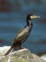Cormorant Phalacrocorax carbo L 80-100cm. Dark water bird with heavy, hook-tipped bill. Swims low in water, propelled by large webbed feet. Wings often held outstretched when perched. Sexes are similar. Adult in summer is mainly dark with an oily sheen and black-bordered brownish feathers on wings, and white on thigh and head. Eye is green; skin at base of bill is yellowish. In winter, white feathering is absent. Juvenile has brown upperparts and whitish underparts. Voice Silent except at nest. Status Common, favouring sheltered seas and large freshwater lakes. Breeds colonially.