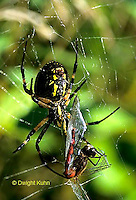 AR04-001a  Yellow and Black Argiope Garden Spider with Dragonfly prey - Argiope aurantia