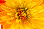 A composition of chrysanthimum petals