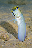 male yellowhead jawfish, Opistognathus aurifrons, incubating eggs in mouth, Bonaire