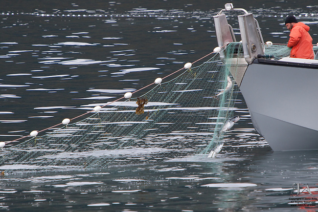 Salmon fisherman using gill net in Prince William Sound, Alaska