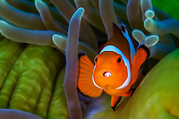 Clown Anemonefish, Amphiprion percula with Cymothoa parasite, Bitung, Lembeh Strait, Sulawesi, Celebes Sea, Indo-Pacific, Indonesia