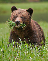 Grizzly Bear with a mouth full of grass
