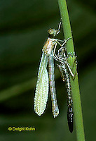 1O12-015z  Spreadwing Damselfly adult emerging from nymph skin and inflating wings - Lestes spp.