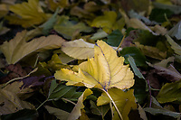 A yellow leaf surrounded by fallen leaves.