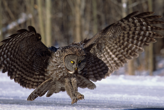 Great Gray Owl (Strix nebulosa) diving for a vole in a roadside ditch. Ontario, Canada.