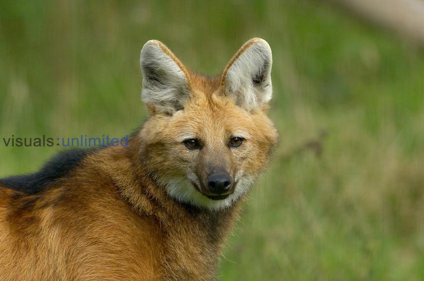 Maned Wolf head (Chrysocyon brachyurus), an endangered species. Captive.