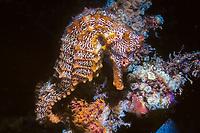 Pacific seahorse, Hippocampus ingens, Galapagos Islands, Ecuador, Pacific Ocean