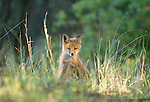 Red fox kit, Assateague National Wildlife Refuge, Virginia, USA
