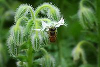 Abeja chupando nectar en  vista en el Jardín Botánico, José Celestino Mutis, de la ciudad de Bogotá, Colombia./ Bee sucking nectar seen at the Botanic Garden, Jose Celestino Mutis, in Bogota, Colombia. Photo: VizzorImage/ Gabriel Aponte / Staff
