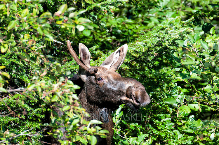 Male moose peaking out of the woods near a remote Maine stream.