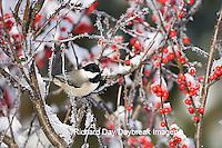 01299-031.12 Carolina Chickadee (Poecile carolinensis) in Common Winterberry (Ilex verticillata) in winter, Marion Co. IL