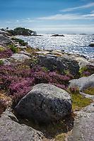 Blommande  ljung på klippa vid havet på Sanhamn Stockholms skärgård Östersjön
