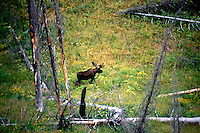 DEER FAMILY (CERVIDAE)<br /> Antlered Moose in Forest Clearing<br /> Yellowstone National Park
