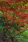 Japanese Maple, Acer Palmatum, Fern Canyon Garden, Mill Valley, California
