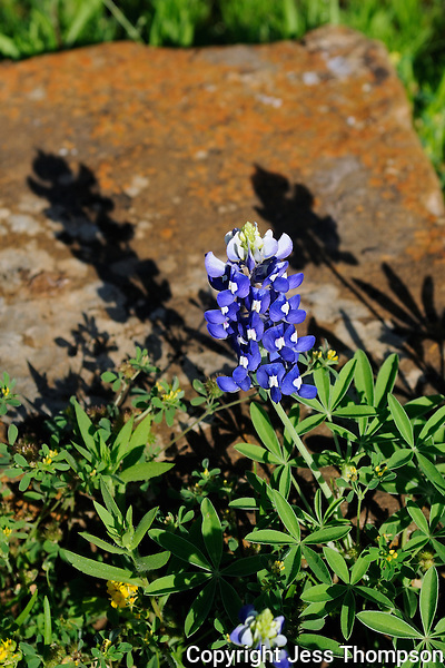 Bluebonnet, Burnet, Texas