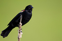 Red-winged Blackbird (Agelaius phoeniceus phoeniceus), Red-winged subspecies, male on a cattail reed at the Great Swamp National Wildlife Refuge in Basking Ridge, New Jersey.