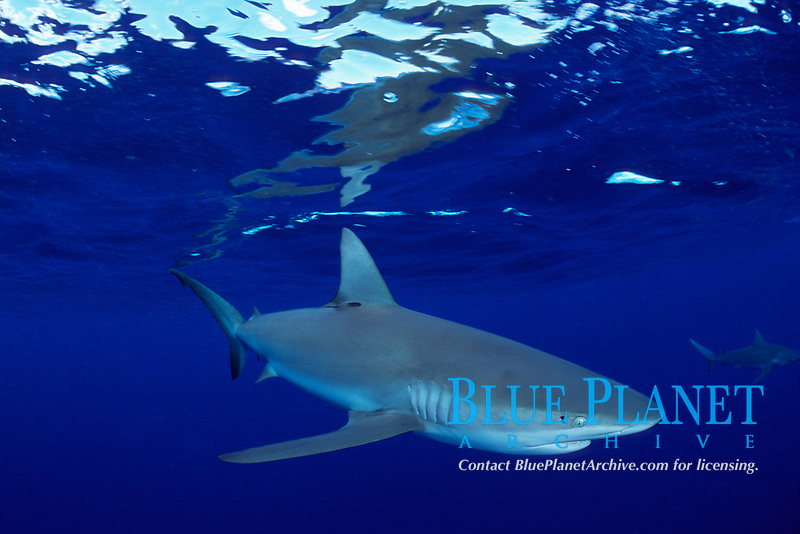 Galapagos shark Carcharhinus galapagensis with copepod parasites around eye North Shore, Oahu, Hawaii, Pacific Ocean