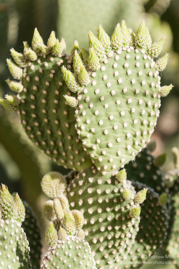 Tucson, Arizona; Prickly Pear Cactus (Opuntia sp.) with flower buds ready to bloom in early morning sunlight