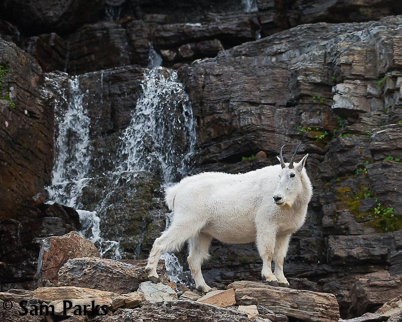 Mountain goat nanny and waterfall. Glacier National Park, Montana.